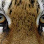 Житель Приморья выплатит 1,7 миллиона рублей за убийство тигрицы