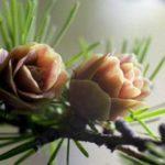 В России началась разработка новых препаратов из лиственницы