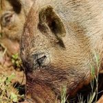 Расправились по-свински: омского пенсионера скормили хрякам из-за его денег