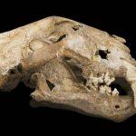 В уральской пещере обнаружен зуб гигантского льва
