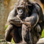 Дети и шимпанзе любят наблюдать, как их обидчика настигает возмездие