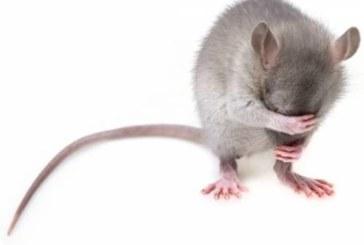 Специалисты научились управлять поведением мышей