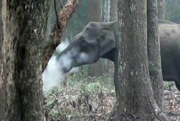 «Курящая» слониха, попавшая на видео, озадачила зоологов
